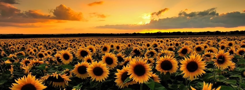 TimelineCovers.pro_sunflower-field-facebook-cover.jpg